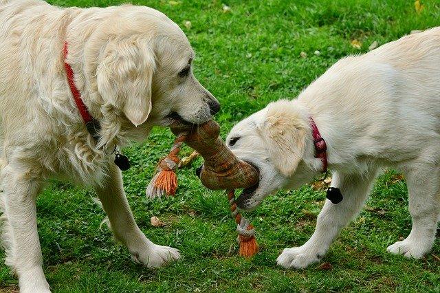hrající psy